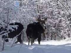 moose11317944832